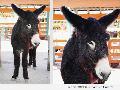 French Poitou Donkey named Geraldine